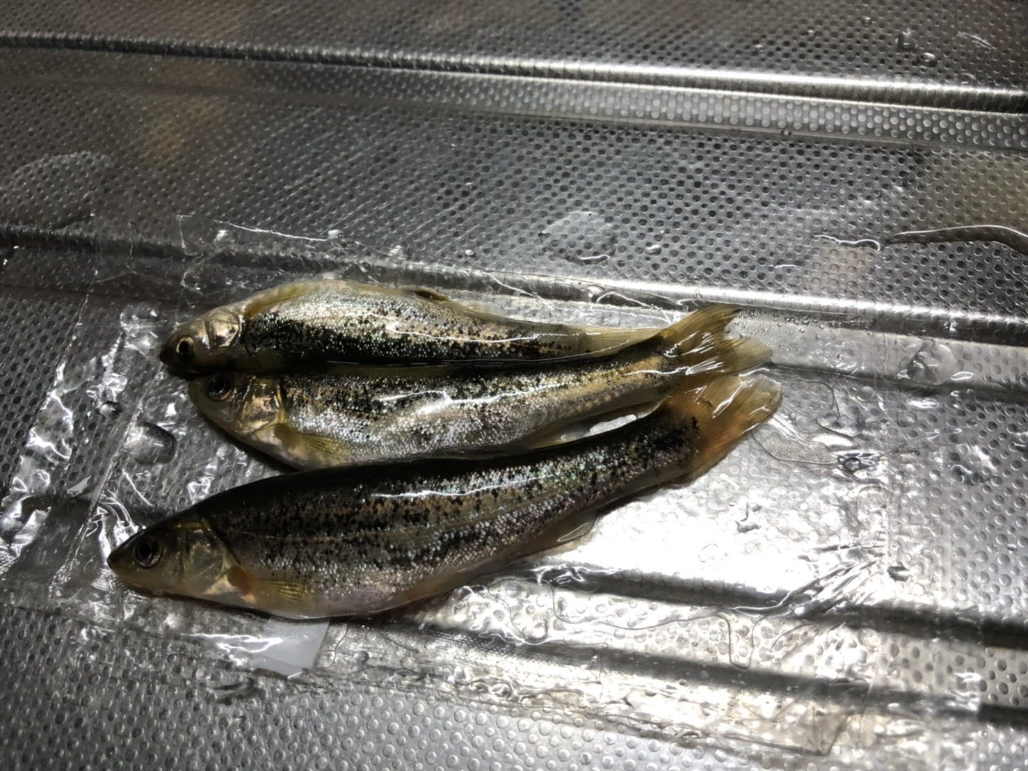 犬上川コアユ釣り