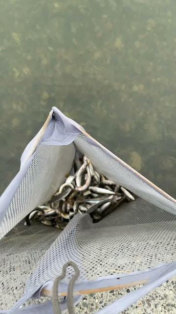 知内川コアユ釣り